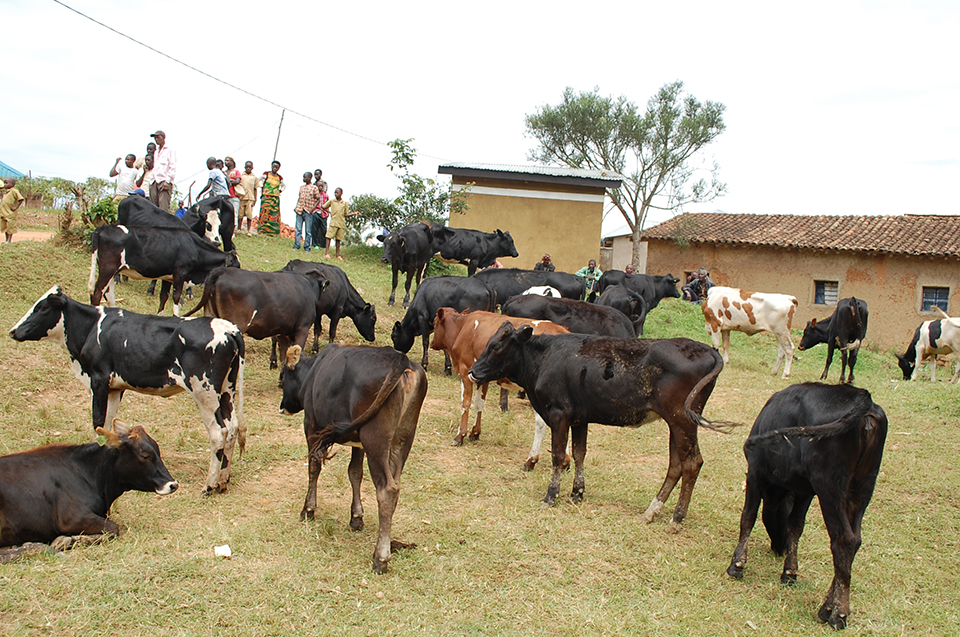 Muhanga-Cow-donation-_2_