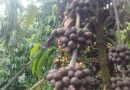 Gakenke-Nyange: Abahinzi ba Kawa bahangayikishijwe n'indwara yibasiye kawa bahinga yo mu bwoko bwa Robusta